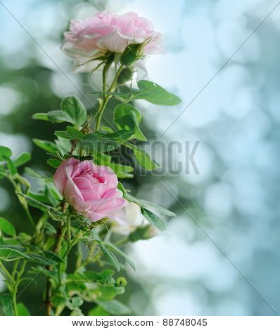 pink roses on blue background