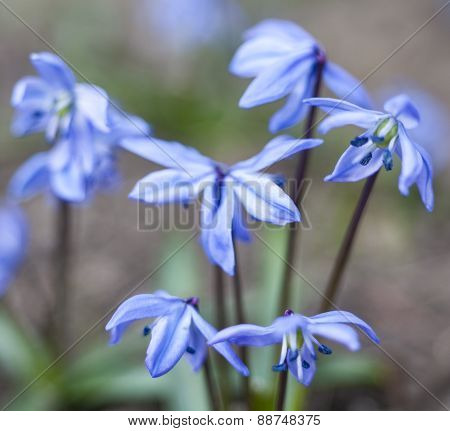 Blue Scilla Flowers Blooming In Early Spring