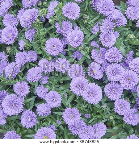 mauve Chrysanthemum flowers close up