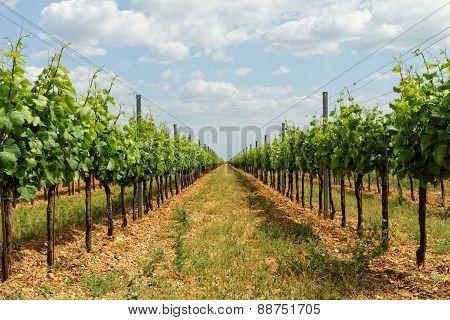 Tokay Grapes