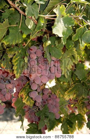 Ripe red grapes on the vine, Spain.