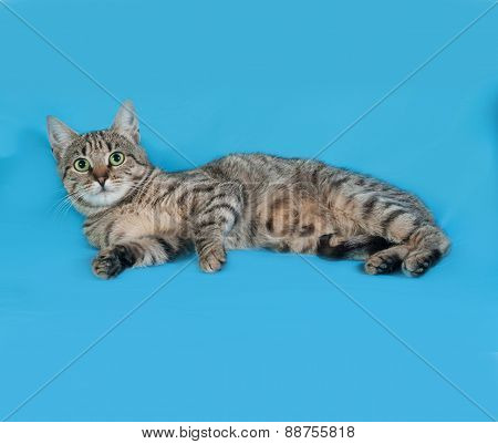 Gray And White Tabby Cat Lying On Its Side On Blue