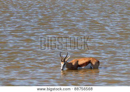 Springbok Drinking