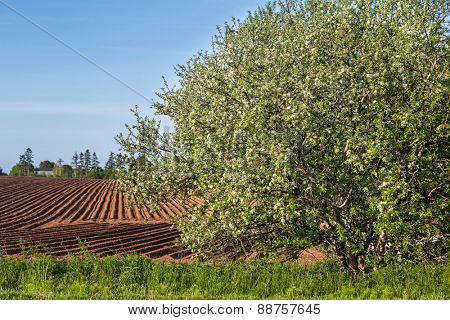 Plowed field and flowering apple tree in rural Prince Edward Island, Canada.
