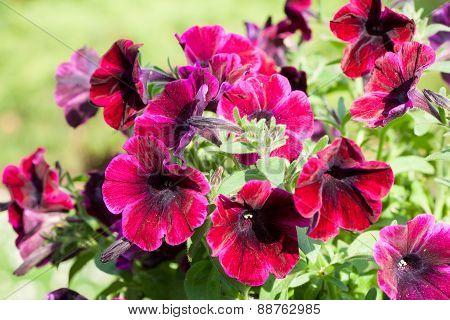 Magenta petunias in the garden