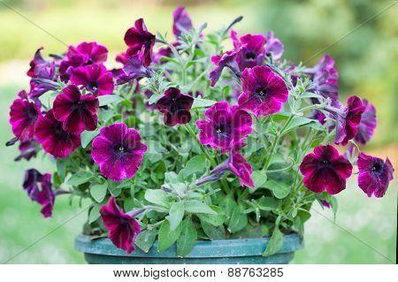 Purple petunias in the flowerpot