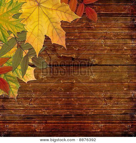 Autumn colored maple leaves