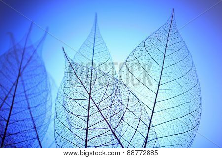 Skeleton leaves on blue background, close up