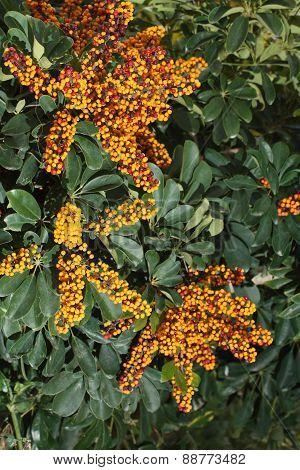 Coffee Tree With Unripe Berries. Vertical