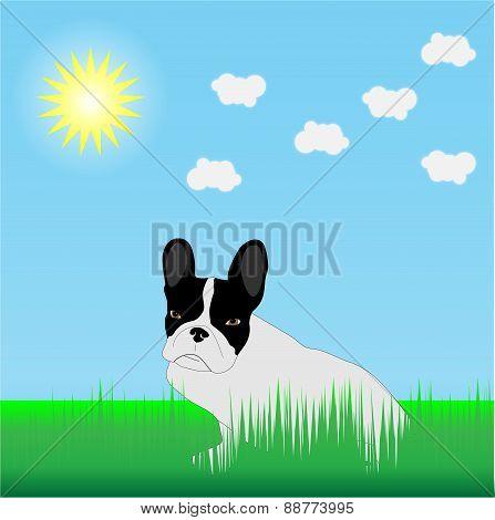 French Bulldog In The Grass In The Sun