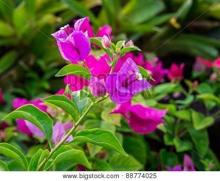 Close Up Bougainvillea Flower