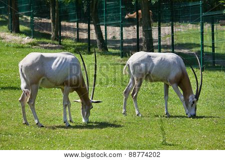 Two antelopes at the zoo