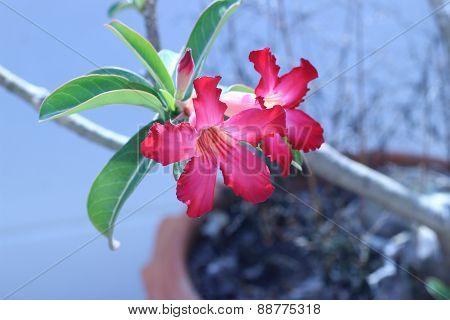 Desert Rose Flower In Garden