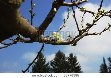 White flowers on branch of fruit tree