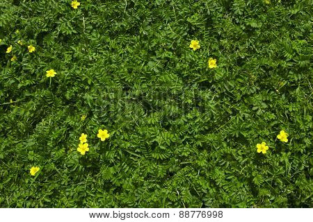 Silverweed green grass with yellow flowers background
