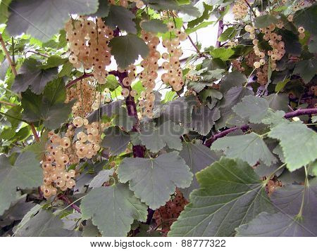 White Currants Growing on a Bush