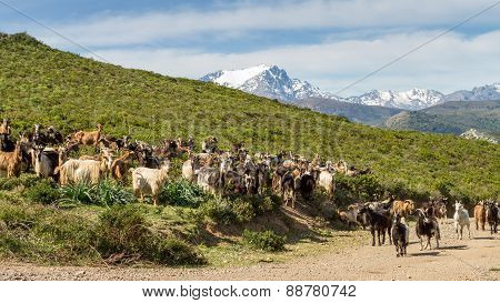 Herd Of Goats In Corsica With Snow Capped Mountains