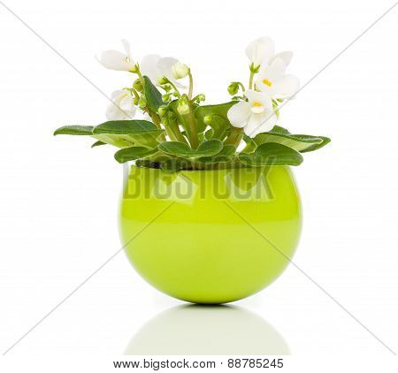 White Saintpaulia Flowers In Green Flowerpot