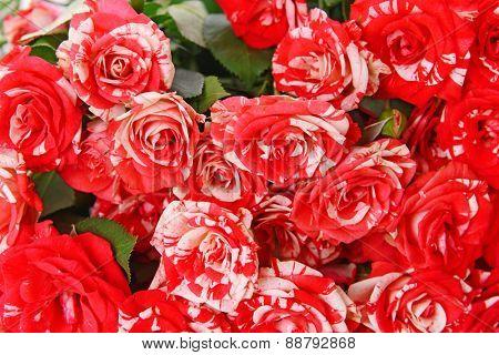 Beautiful roses close-up