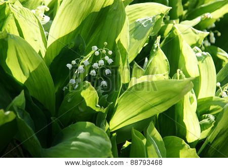 lily of the valley - 4