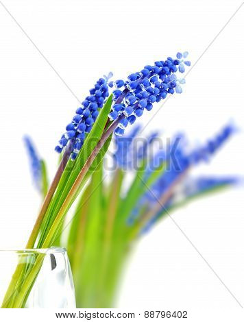 Small Blue Flowers Muscari In Vase.