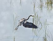 foto of wetland  - Great Blue Heron Fishing In Florida Wetlands - JPG