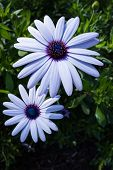 picture of moon-flower  - group of beautiful african moon flowers in a garden - JPG