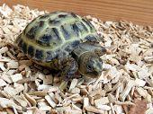 foto of tortoise  - Baby tortoise walking on his tortoise table - JPG