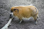 picture of wild hog  - wild hog with tusks eating a branch - JPG