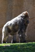 stock photo of gorilla  - adult male western gorilla walking on green grass - JPG