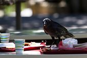 stock photo of unnatural  - large black crow feeding on fast food leftovers at a table - JPG
