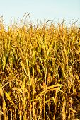 picture of corn stalk  - Dry corn field at the sunset - JPG