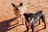 stock photo of southwest  - Two dogs living in the American Southwest come to greet visitors at Monument Valley AZ with the morning sun casting long shadows in the red dirt - JPG