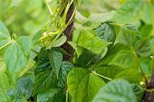 image of phaseolus  - Growing the beans (Phaseolus vulgaris). Green vines and leaves creeping on the vertical support.