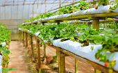 image of row houses  - growing strawberry rows in a green house - JPG