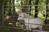 picture of shire horse  - brown and a white pony behind a gate in an irish wood - JPG
