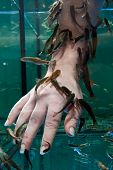 stock photo of nibbling  - Doctor fishes in an aquarium nibble at a hand - JPG