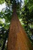 foto of sequoia-trees  - Giant tree from the perspective of the bottom - JPG