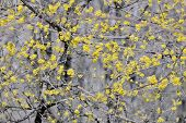 pic of dogwood  - Flowering dogwoods Cornus mas in spring time - JPG