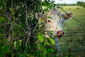 stock photo of peek  - A white cow standing behind wire fence peeks around from a tree.