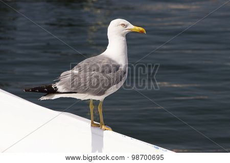 Side view of Seagull