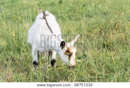 White Young Goat Is Grazing In The Field.