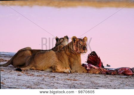 Lionesses at Blue Wildebeest kill