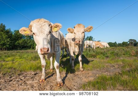 Curiously Looking Cows In A Natural Area