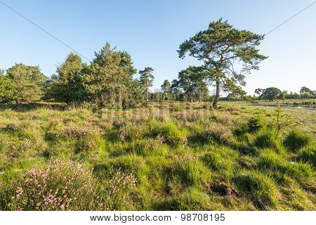 Nature Reserve With Flowering Heather And Trees