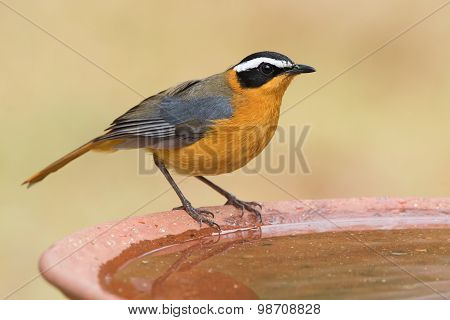 White-browed Robin-chat (cossypha Heuglini) Standing On The Edge A Bird Bath