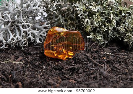 Amber On Forest Floor