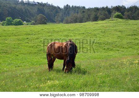 Brown Horse Grazing