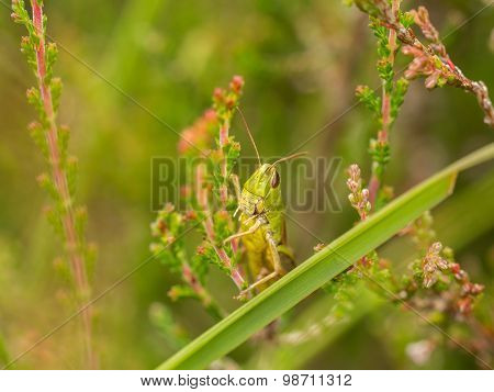 Horizontal Of Green Grasshopper On Heather In Bloom