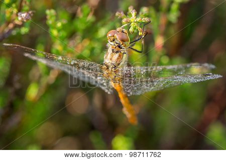 Creative Angle Of Dragonfly Wet With Dew